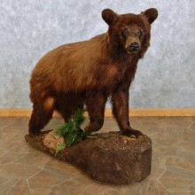 Cinnamon Black Bear Life-Size Mount For Sale #15115 @ The Taxidermy Store