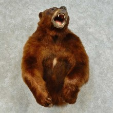 Cinnamon Bear 1/2 Life-Size Mount For Sale #16392 @ The Taxidermy Store