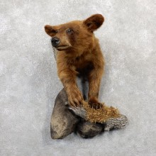 Cinnamon Bear 1/2-Life-Size Mount For Sale #19289 @ The Taxidermy Store