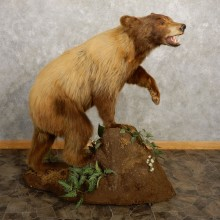 Cinnamon Black Bear Life-Size Taxidermy Mount For Sale