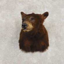 Cinnamon Phase Black Bear Shoulder Mount For Sale #21409 @ The Taxidermy Store
