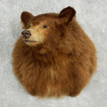Cinnamon Bear Shoulder Taxidermy Mount For Sale