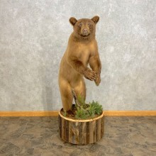 Cinnamon Phase Juvenile Black Bear Mount For Sale #23304 @ The Taxidermy Store