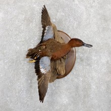 Cinnamon Teal Duck Mount For Sale #19405 @ The Taxidermy Store