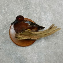 Cinnamon Teal Bird Mount For Sale #17665 @ The Taxidermy Store