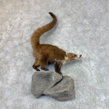 Coatimundis Life-Size Mount For Sale #22574 @ The Taxidermy Store