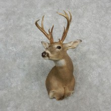 Columbian Whitetail Deer Shoulder Taxidermy Mount For Sale