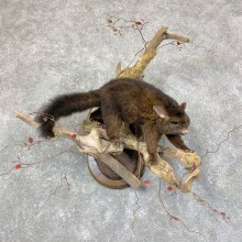 Common Brushtail Possum Taxidermy Mount For Sale