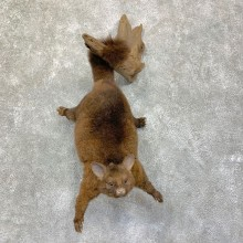 Common Brushtail Possum Mount For Sale #22860 @ The Taxidermy Store