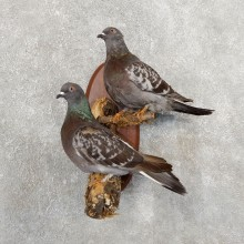 Common Pigeon Pair Mount For Sale #19746 @ The Taxidermy Store