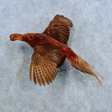 Copper Pheasant Bird Mount For Sale #15546 @ The Taxidermy Store