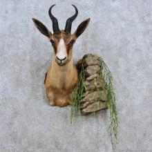 African Black Springbok Taxidermy Shoulder Mount For Sale