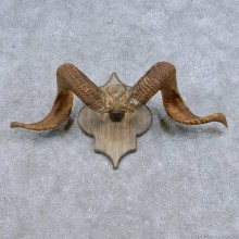 Corsican Ram Horn Plaque Mount For Sale #14687 @ The Taxidermy Store