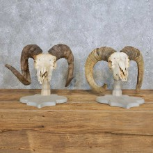 Corsican Ram Skull European Mount Pair For Sale #14998 @ The Taxidermy Store