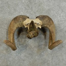 Corsican Ram Horn Mount For Sale #16000 @ The Taxidermy Store