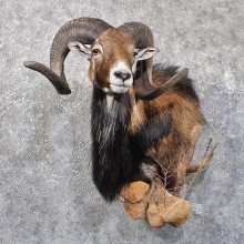 Mouflon Ram Shoulder Mount #11791 For Sale @ The Taxidermy Store
