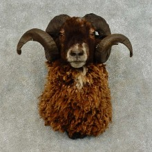 Corsican Ram Taxidermy Shoulder Mount For Sale