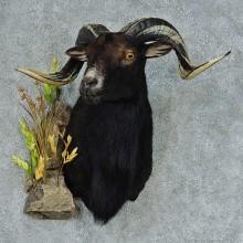 Black Corsican Ram Shoulder Mount