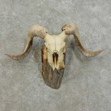 Corsican Ram Skull European Mount For Sale #16004 @ The Taxidermy Store