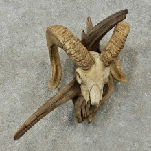 Corsican Ram Skull European Mount For Sale #16273 @ The Taxidermy Store
