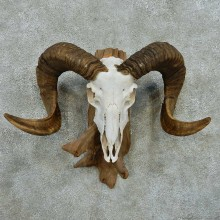 Corsican Ram Skull Horn European Mount #13598 For Sale @ The Taxidermy Store