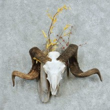 Corsican Ram Skull & Horns European Mount #13731 For Sale @ The Taxidermy Store