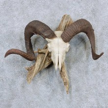 Corsican Ram Skull & Horn Mount For Sale #13891 For Sale @ The Taxidermy Store