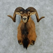 Black & Tan Corsican Ram Shoulder Mount