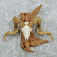 Corsican Skull & Horns Taxidermy European Mount #12872 For Sale @ The Taxidermy Store