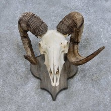 Corsican Ram Skull European Mount For Sale #14685 @ The Taxidermy Store
