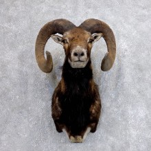 Corsican Ram Shoulder Mount For Sale #18616 @ The Taxidermy Store