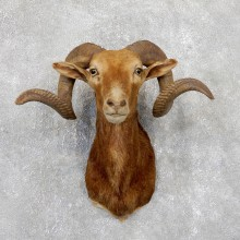 Corsican Ram Shoulder Mount For Sale #19446 @ The Taxidermy Store
