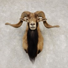 Corsican Ram Shoulder Mount For Sale #21450 @ The Taxidermy Store