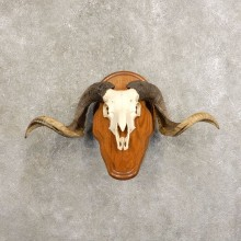 Corsican Ram Skull European Mount For Sale #21480 @ The Taxidermy Store