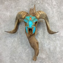 Corsican Ram Skull European Mount For Sale #22022 @ The Taxidermy Store