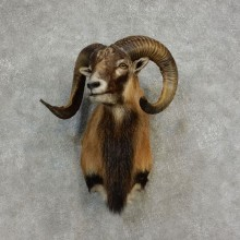 Corsican Ram Shoulder Mount For Sale #17183 @ The Taxidermy Store