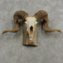 Corsican Ram Skull European Taxidermy Mount For Sale