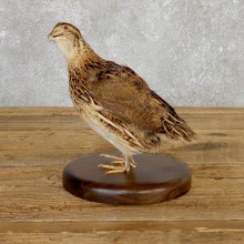 Cortunix Quail Bird Mount For Sale #19804 @ The Taxidermy Store