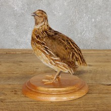 Coturnix Quail Taxidermy Bird Mount For Sale