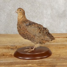 Cortunix Quail Bird Mount For Sale #21043 @ The Taxidermy Store
