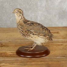 Cortunix Quail Bird Mount For Sale #21044 @ The Taxidermy Store