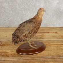 Cortunix Quail Bird Mount For Sale #21045 @ The Taxidermy Store