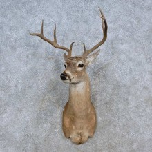 Coues Deer Taxidermy Shoulder Mount For Sale