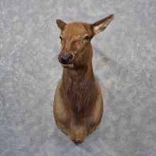 Cow Elk Shoulder Taxidermy Mount For Sale