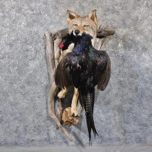 Coyote Mount w/ Pheasant #11773 For Sale @ The Taxidermy Store