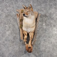 Coyote Mount #11501 For Sale - The Taxidermy Store