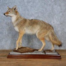 Coyote Life-Size Taxidermy Mount For Sale