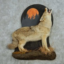 Coyote Howling Life Size Mount