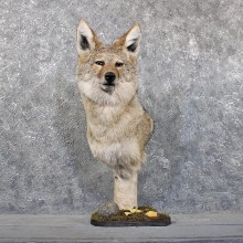 Coyote Pedestal Mount #11711 For Sale @ The Taxidermy Store