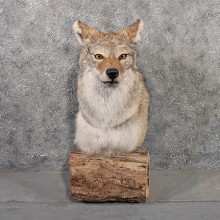 Coyote Pedestal Mount #11514 - For Sale - The Taxidermy Store